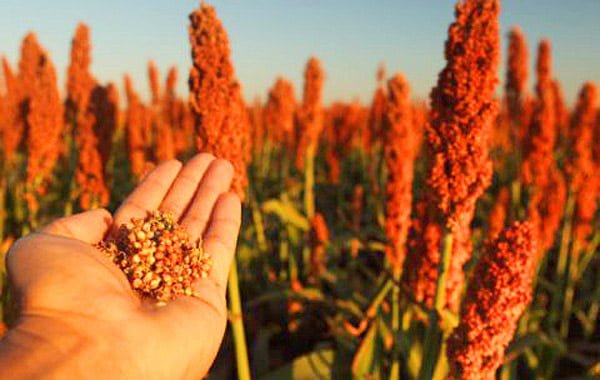 sorgo saúde diabetes dieta glutem cancer