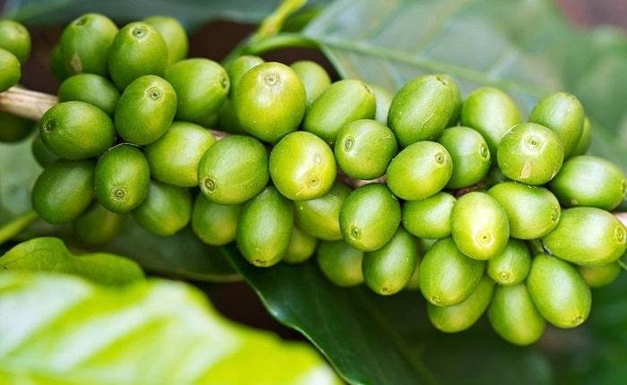 Óleo café verde saúde pele rosto corpo cabelos óleo essencial